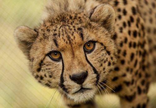 cheetah.thumb.jpg.83f51ba37d1fd15420d5c850e4af14d8.jpg