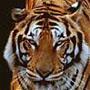 Tiger78